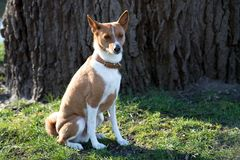 Closer front view of a two tone basenji sitting on a grass area in meppen emsland germany royalty free stock photo