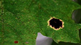Closer image of the black spot of the leaf Royalty Free Stock Photo