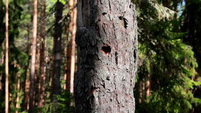 Closer image of the tree trunk that has a hole. Found in its center. The trees are surrounded by other tall trees stock video footage
