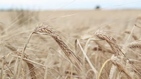Closer image of a wheat stock. Found in the open field where you can find that the field is so big stock video footage