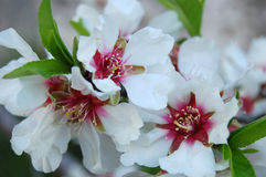 A closer look at almond-blossoms. Almond-blossoms in my garden. It's spring time Stock Photos