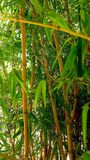 Bamboo forest. A Closer look royalty free stock photography