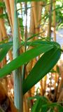 Bamboo forest. A Closer look royalty free stock photos