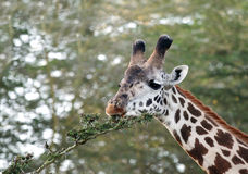 Closer look of a beautiful Giraffes eating acacia bush Royalty Free Stock Photo