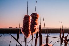 Closer look of a cattail. Closer look of cattail in front of a meadow stock photo