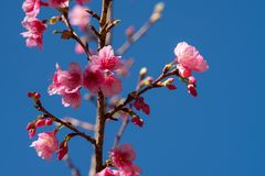 Closeup of pink cherry blossom on blue sky background. royalty free stock photos