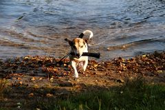 Closer and side view on a tri color jack russel terrier standing on the beach and having his toy in his snout in meppen emsland ge. Rmany and photographed in stock photo
