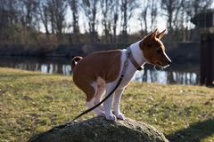 Closer side view of a two tone basenji puppy sitting on a rock in meppen emsland germany. And photographed during a walk in the nature on a sunny afternoon royalty free stock photography