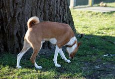 Closer side view of a two tone basenji standing on a grass area sniffing in meppen emsland germany royalty free stock photography