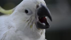 Close up of a white cockatoo. stock footage