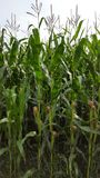 Closer view on a corn field stock photos