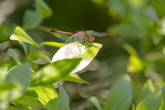 Closer View of Male Ruby Meadowhawk Dragonfly Royalty Free Stock Photos