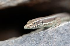 Rock Lizard looking out royalty free stock photography