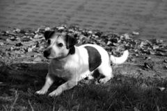 Closer view on a tri color jack russell terrier lying on the sea bank in meppen emsland germany in black and white. And photographed during a walk in the nature stock images