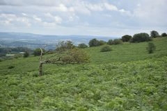 Closer view of a windblown tree, Mendip hills. Royalty Free Stock Photography