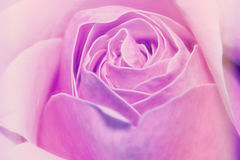 Closes up pink rose background soft focus for happy valentine`s Royalty Free Stock Photo