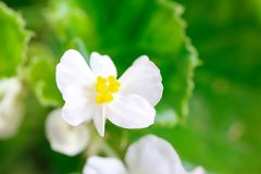 Beautiful White Wax Begonia Semperflorens. A closes up shot of some beautiful white begonia semperflorens flowers Royalty Free Stock Image