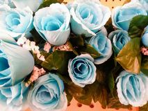 Closest bluish roses. Bluish roses, blue, flower royalty free stock images