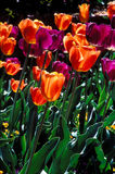Closeu field of purple and orange tulips. Royalty Free Stock Photo