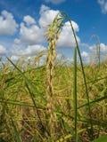 Closeupöra av ris Arkivbilder