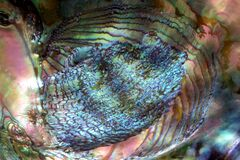 closeup of abalone shell Royalty Free Stock Images