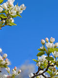 Closeup abloom apple tree Royalty Free Stock Photos