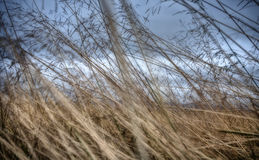 Closeup Abstract of Iceland Long Grass in Autumn Royalty Free Stock Photography