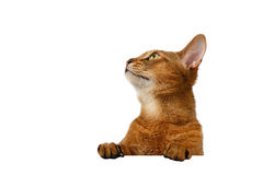 Closeup Abyssinian Cat front desk with Paws and Looking up Royalty Free Stock Image