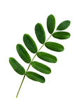 Closeup of acacia leaves Stock Images