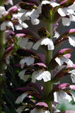Closeup of acanthus flowers Stock Images