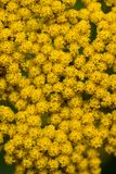 Closeup of Achillea Moonshine inflorescence. With bright yellow flowers- top view stock photo