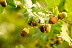 Acorns. Closeup acorns fruits in the oak nut tree against blurred green background Royalty Free Stock Photos