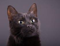 Closeup of an adorable black cat Royalty Free Stock Image