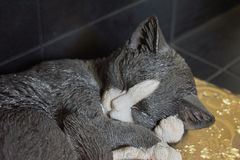 Closeup adorable black and white porcelain cat sleeping curled up lying on a golden cushion stock photo