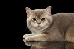 Closeup Adorable British Cat with green eyes, Lying, isolated Black Royalty Free Stock Images