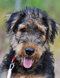Closeup of adorable cute Airedale Terrier puppy Stock Images