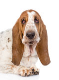 Closeup adult basset hound dog. on white background.  stock photography