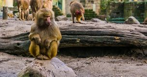 Closeup of a adult female hamadryas baboon sitting on a rock, popular zoo animals royalty free stock photos