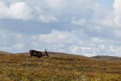 Closeup of an adult male Caribou wandering  on tundra Royalty Free Stock Photos
