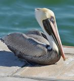 Closeup of an adult North American brown pelican resting on its webbed feet in the bright sun. royalty free stock photos