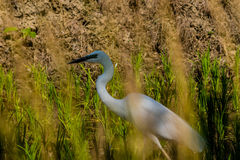 Closeup of adult snowy white egret hunting for food Royalty Free Stock Photography