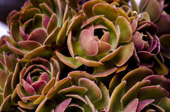 Aeonium Garnet Succulent Plant. A closeup of an Aeonium Garnet multi-branched low shrub-like succulent with multiple dense rosettes royalty free stock photo