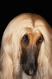 Closeup Of Afghan Hound Stock Photo