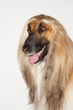 Closeup Of Afghan Hound Stock Photography