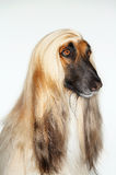 Closeup Of Afghan Hound Stock Image