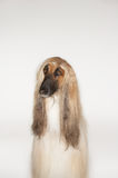 Closeup Of Afghan Hound Stock Images