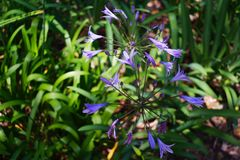 Closeup of African Blue Lilies in Cape Town royalty free stock photo