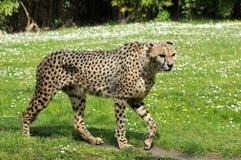 Closeup of African Cheetah Royalty Free Stock Images