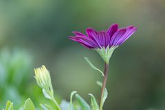 Closeup African Daisy flower (Osteospermum ecklonis) Royalty Free Stock Photos