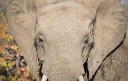 Closeup of African Elephant Head Stock Image